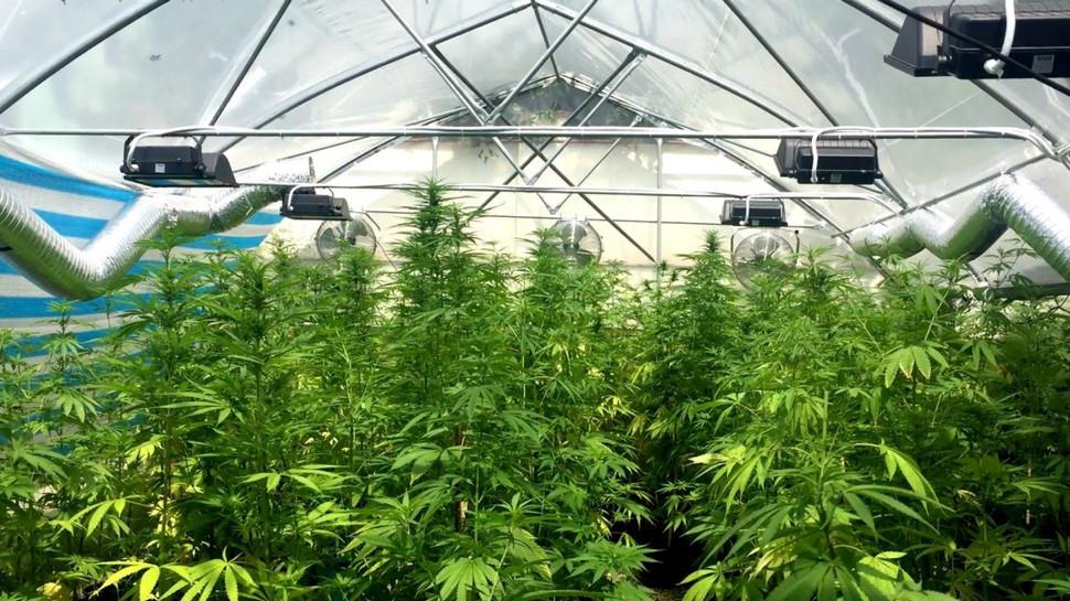 Выращивают ли коноплю в теплице марихуана как изготовляют