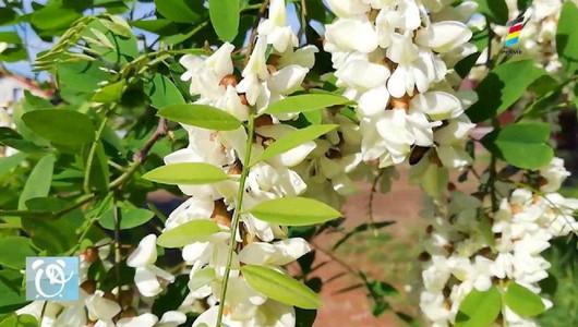 Efectul miraculos al florilor de salcâm