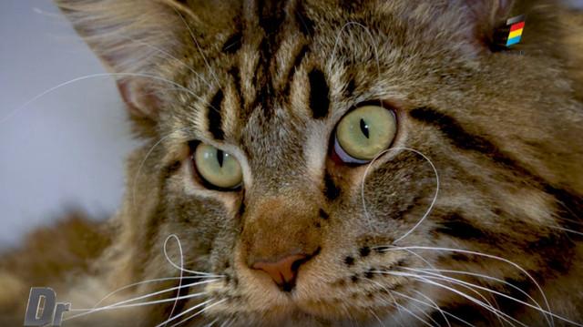 Află cum este să crești o pisică Maine Coon în Moldova. Sfaturi de la stăpâni