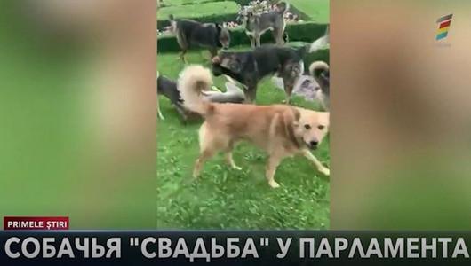 Собаки устроили шабаш перед зданием Парламента. Роман Трахтман оказался рядом