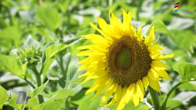 Cum are loc procesul de prelucrarea a semințelor de floarea soarelui până a fi cumpărate