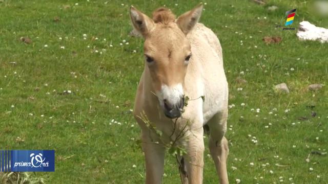 O grădină zoologică a clonat cu succes un cal dintr-o specie aflată pe cale de dispariție