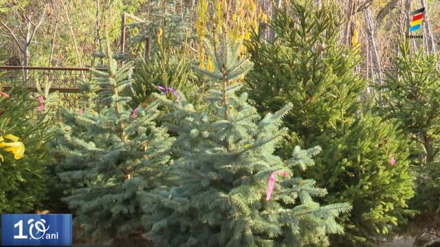În căutarea pomului de Crăciun. Cât costă un brad în acest an