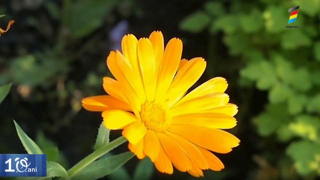 Plante medicinale pentru o piele sănătoasă și care amână îmbătrânirea