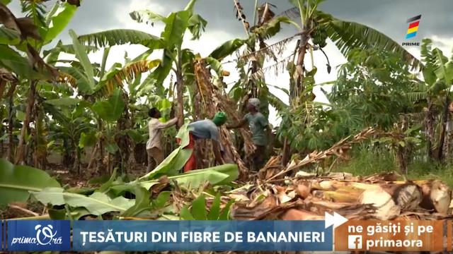 Tulpinile bananierilor, transformate în fibre pentru țesături. Cum are loc procesul
