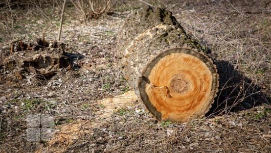Dosar penal pentru furt de lemn în proporții deosebit de mari din pădurea Parcul Nistrean