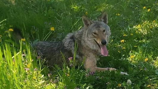 Povestea lui Dany, lupul fugar de la Dănceni. Vezi cine l-a prins și unde a fost găsit