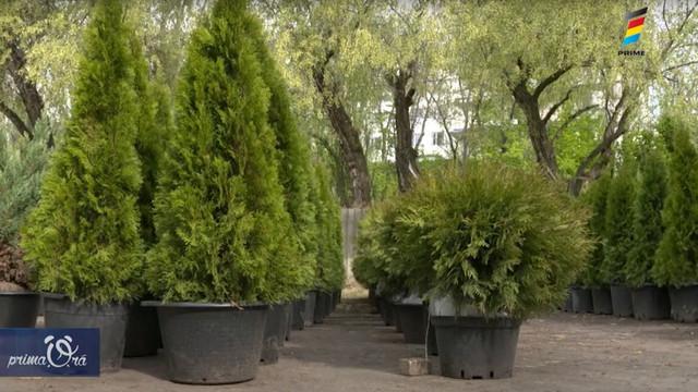 Află cum poți avea mereu un arbore veșnic verde în curtea casei