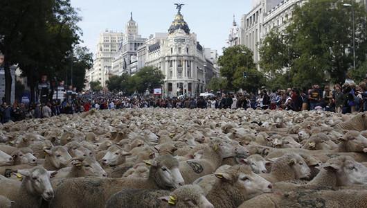 Тысячи овец наводнили улицы Мадрида